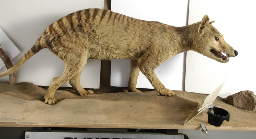 Leeds specimens help solve mystery of Tasmanian tiger's tale : wolf.jpg