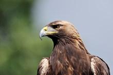 Golden Eagle ©Lorne Gill SNH