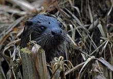 Otter ©Steve Buckland