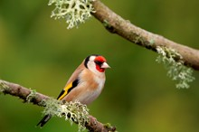 Goldfinch-D13974-2