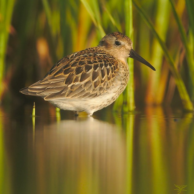 Dunlin at Forvie NNR - copyright Ron Macdonald - for one-time use only