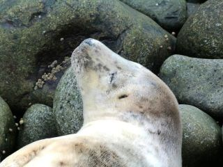 Grey seal on Isle of May: Free use. Please credit Scottish Natural Heritage (SNH).