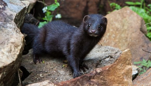 Could you help stop mink in their tracks?: American Mink-5862 SNH