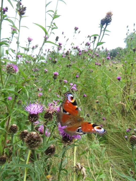 No more killing of conservationists: Peacock butterfly (Inachis io) Auchinlea park Glasgow 05.08.2014 Suzanne Burgess (2)