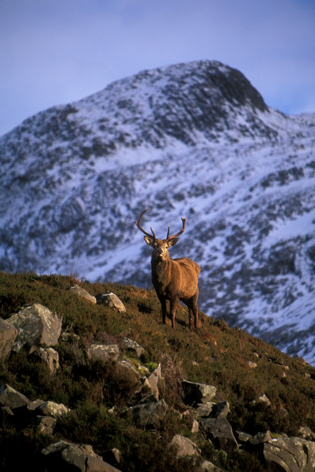 Red deer stag on knoll: Winter. Red deer stags on knoll with Creag Dhubh behind, Glen Torridon. (file ref. K33-27). 2001/02. © John MacPherson/SNH For information on reproduction rights contact the Scottish Natural Heritage Image Library on Tel. 01738 444177 or www.snh.gov.uk