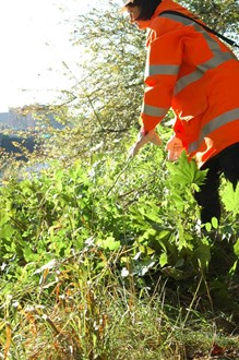Overgrown vegetation make way for rare plants: conservation work at avon gorge