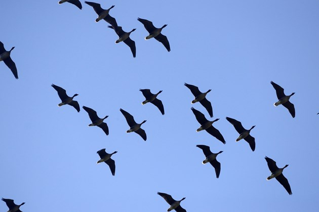 LochLevenNNR- Pink footed geese - credit Lorne Gill-SNH