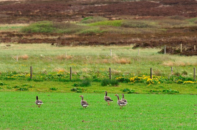 Sale of goose meat from Orkney extended across Scotland: Greylag geese grazing on a cereal crop in Orkney - credit SNH-Lorne Gill