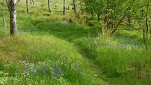 Bluebells (grown from seed) and Greater Stitchwort (grown from seed and cuttings) introduced under young birch trees in a woodland near Aberfeldy, Perthshire. ©Rick Worrell