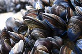 Protecting shellfish production: Marine-fisheries-shellfish-mussels