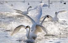 Mute Swans landing on a frozen loch. ©Lorne Gill-NatureScot