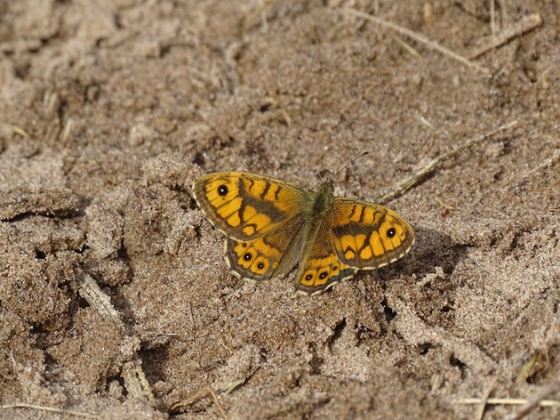 Tentsmuir NNR - wall butterfly - credit NatureScot-Esther Whitford