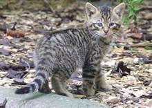scottish-wildcat-kitten-scottish-wildcat action photo credit Alex Riddell RZSS