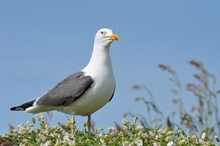 Lesser black-backed gull - credit SNH-Lorne Gill