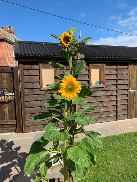 Tallest sunflower winner