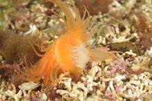 A flame shell on a shallow water maerl bed in outer Loch Carron-2