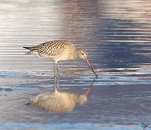 Bar-tailed godwit at Forvie NNR - copyright Ron Macdonald - for one-time use only