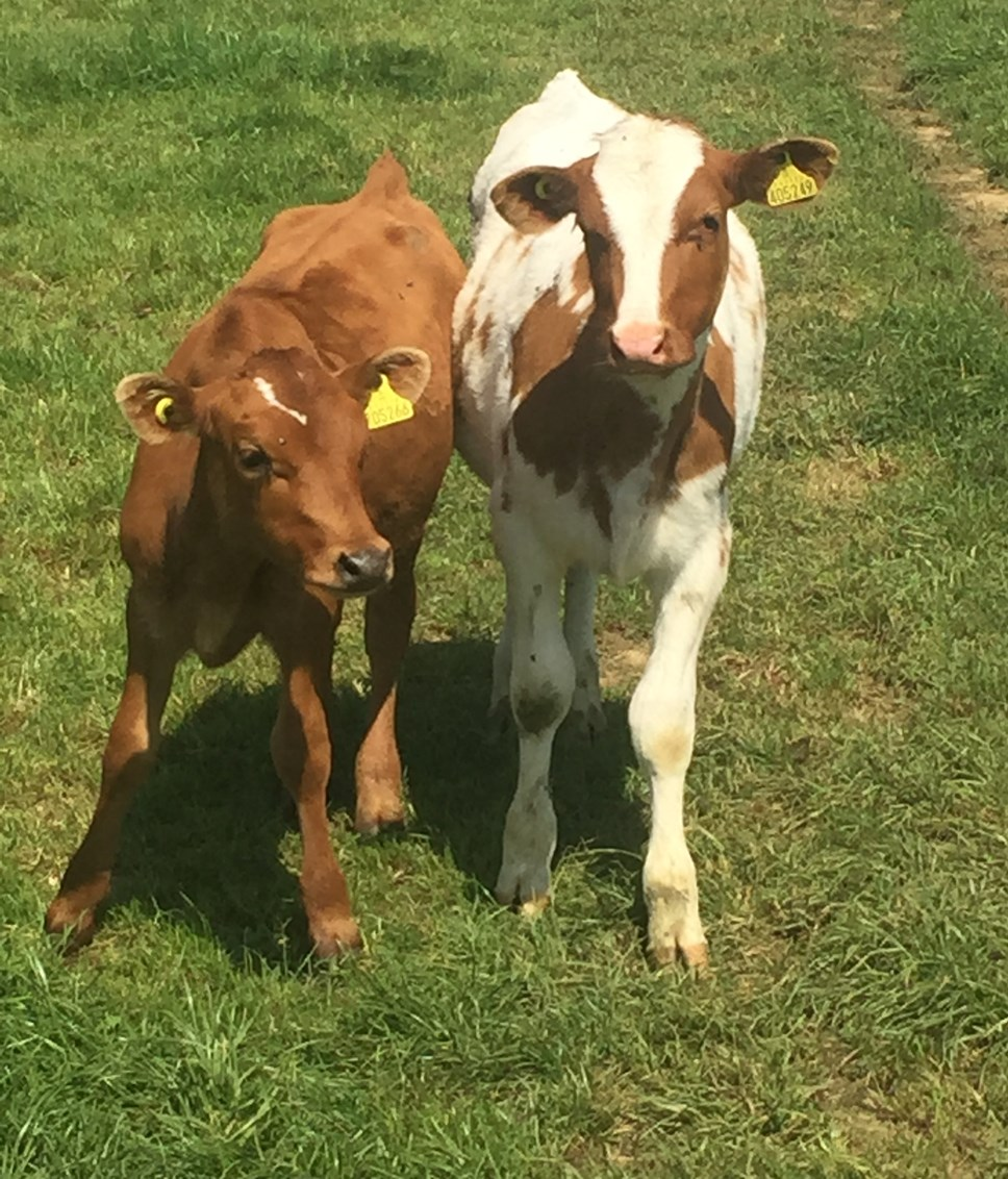 Arla calls for industry to help support dairy farmers ensure every calf has a value: Calves