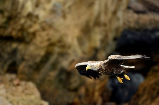Review looks at progress helping farmers and crofters deal with sea eagle impact: Sea eagle 3