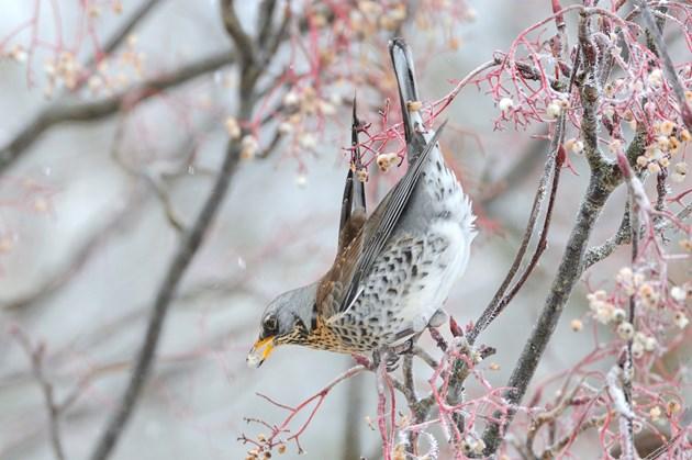 Fieldfares feeding on ornamental rowan berries ©Lorne GIll/NatureScot