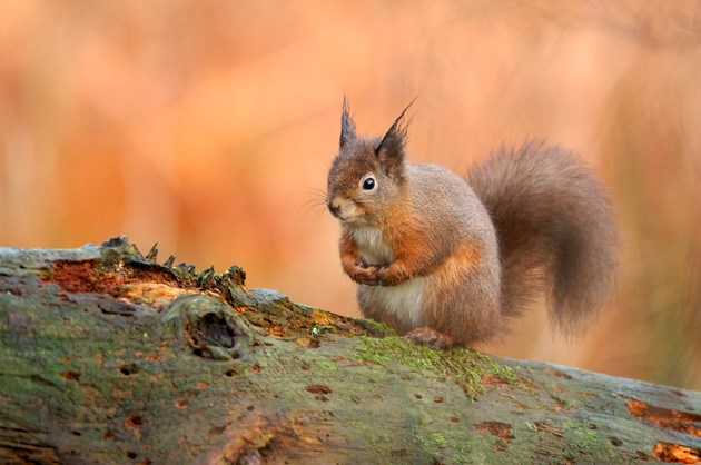 More people flock to Fife's national nature reserves in 2020: Red Squirrel ©Lorne Gill/NatureScot