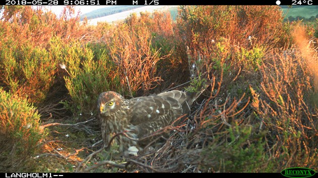Conservation project records new hen harrier behaviour: Hen harrier on nest