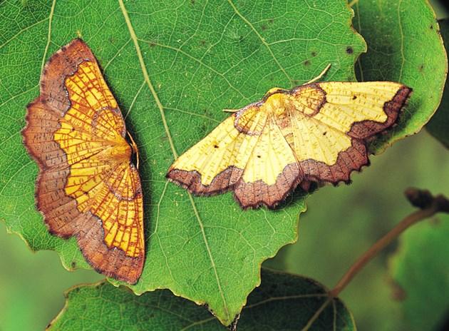 Major study reveals 46% decline in moth abundance: Dark Bordered Beauty © Roy Leverton