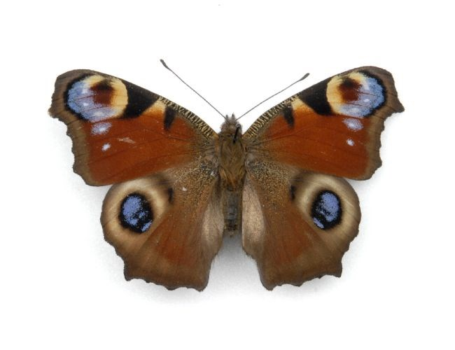 Peacock Butterfly: The Peacock Butterfly has patterns on its wings that look like eyes to confuse predators This image is from the entomology collections at Leeds Museums ans Galleries. Code Cracker players will be asked to find out fascinating facts about minibeasts like these.