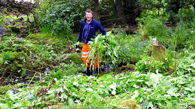 Volunteers help stop one of UK's most invasive plants from ravaging Cumbrian beauty spot: Network Rail helping clear Himalayan Balsam from the River Kent in Cumbria