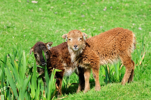 Urgent plea for dog owners to take the lead on responsible ownership near livestock: Soay sheep lamb (Ovis aries), Hirta, St Kilda. ©Lorne Gill-NatureScot.
