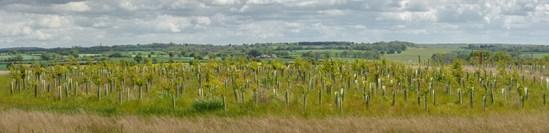 Large scale tree planting at Cubbington Woods (panoramic): Credit: HS2 Ltd