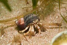 Hermit crab, (C) SNH/ Graham Saunders: Hermit crab, (C) SNH/ Graham Saunders. One-off use.