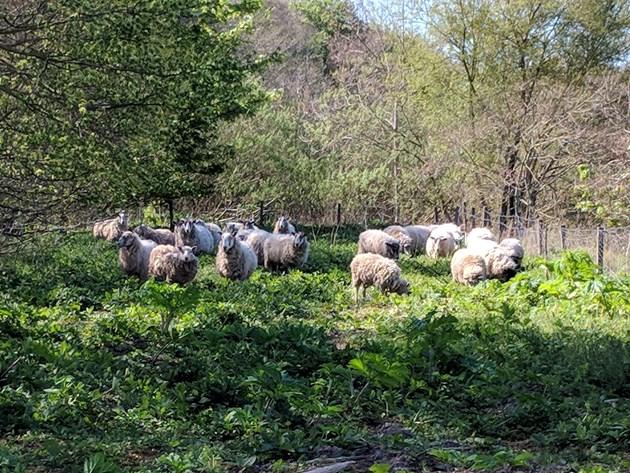 Macduff sheep working to keep Giant hogweed at bay: Sheep with hogweed ©SISI project