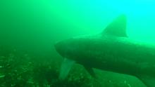 SharkCam basking shark project screenshot 1 ©WHOI
