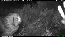 Long-eared owl at nest