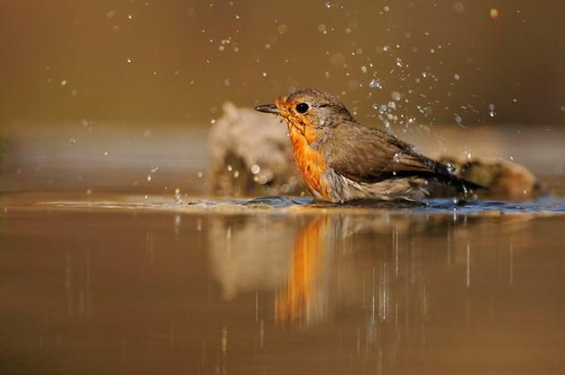 Robin bathing in a garden pond ©Fergus Gill/NatureScot