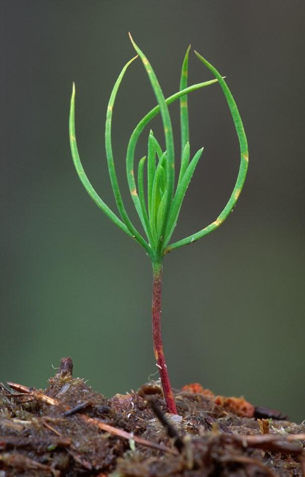 Scots pine seedling Beinn Eighe NNR, ©Laurie Campbell SNH