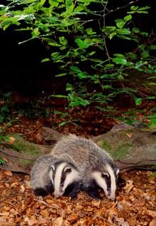 badger15blcampbell