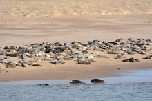 Grey seals at the Ythan estuary  Forvie National Nature Reserve ©Lorne Gill/SNH