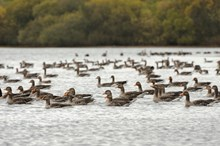 Loch Leven - greylag geese