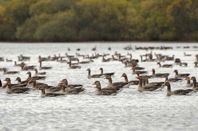 Loch Leven - greylag geese