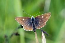 Northern Brown Argus butterfly, (Aricia artaxerxes).©Lorne Gill-SNH