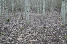 Under these 20 year old ash and birch trees planted on former arable farmland there is very little vegetation at all – mainly grasses and moss - because all the woodland plants are missing  ©Rick Worrell