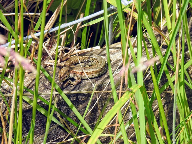 Male common lizard at Shap Cutting