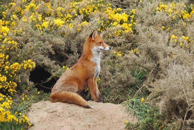 NE Mammal Atlast - Fox photo by Paul Chapman