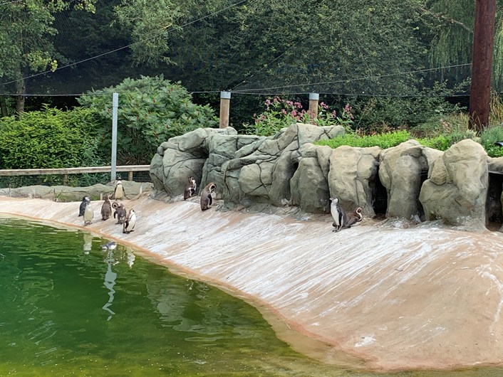 Lotherton penguin chicks: The penguin chicks enjoying the pool at Lotherton this week having grown up enough to join their parents for a swim.