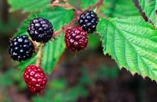 Foraging Fortnight - Bramble fruit - Credit Lorne Gill-NatureScot