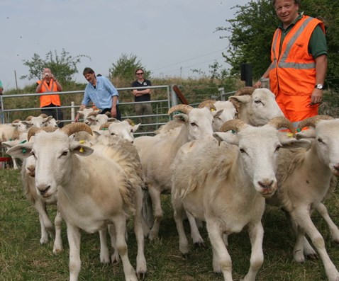 Sheep at Great Stukeley SSSI, Huntingdon
