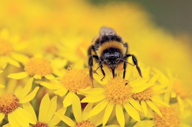 Developers urged to help pollinators: Bumble Bee feeding on ragwort flower heads ©Lorne Gill/SNH