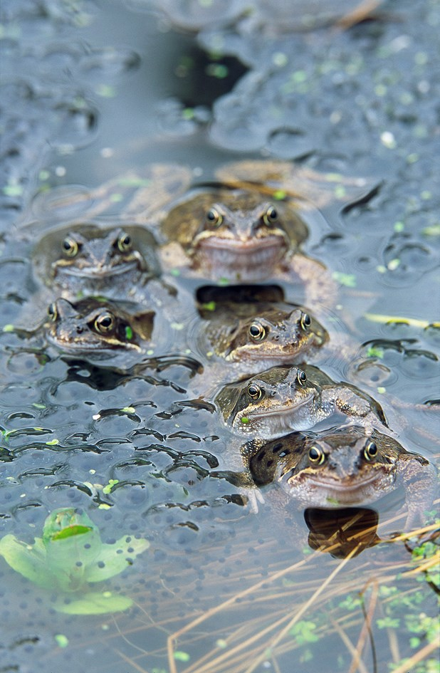 Frogs and frog spawn © Lorne Gill SNH